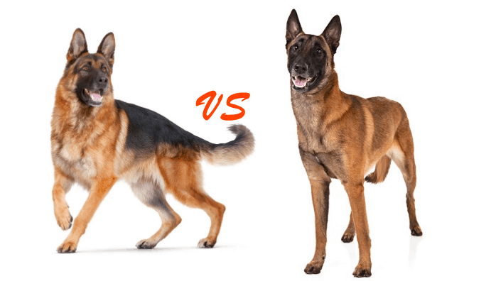 10 Things You Didn't Know About belgian malinois vs german shepherd