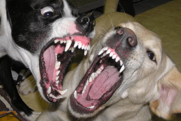 dogs teeth