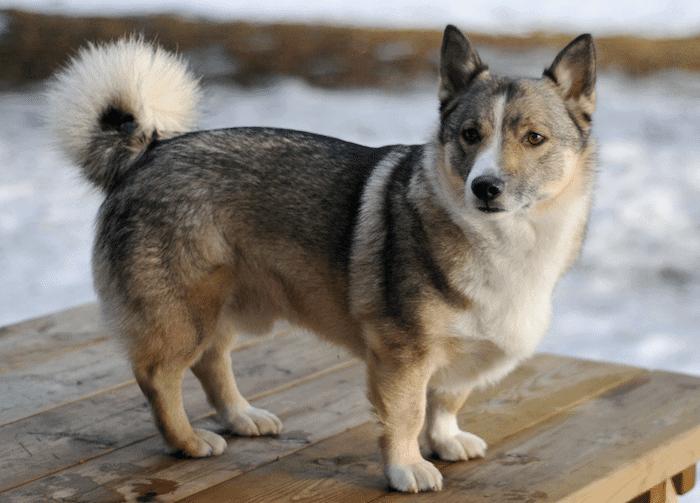 Top 11 Interesting facts about Husky Corgi Mix, Puppies, Cost (Horgis)