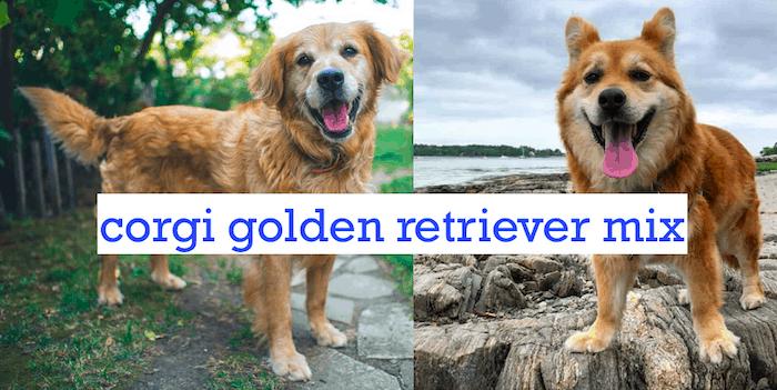 Top 7 Interesting facts about the corgi golden retriever mix + Corgi Names