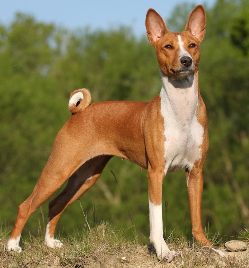 Basenji is one of the most aggressive dog breeds