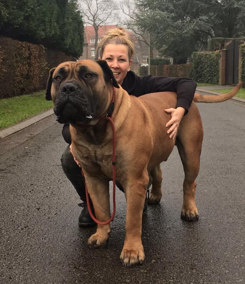 Boerboel is one of the most aggressive dog breeds