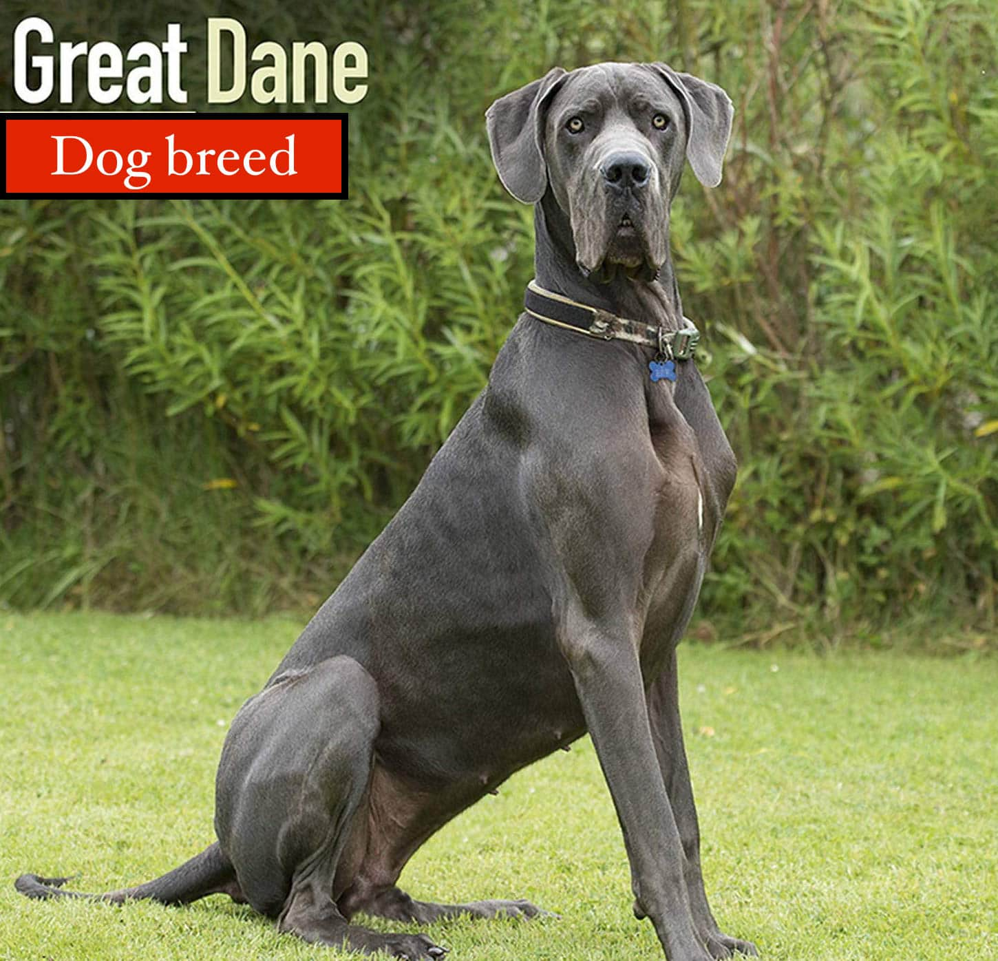 great dane is one of the most aggressive dogs