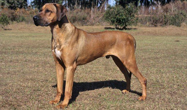 rhodesian ridgeback is one of the most aggressive dog breeds