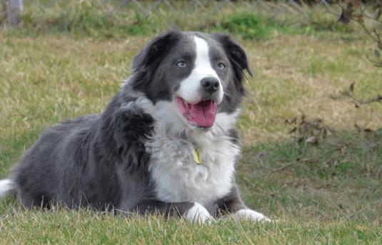 best dog breeds for hiking - border collie