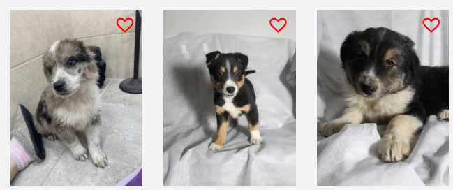 collie mix puppies pix from: lancasterpuppies.com
