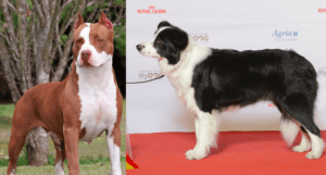 Top 15 interesting facts about The Pit Bull Border Collie Mix Dog