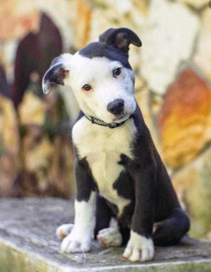 pit bull border collie mix puppy