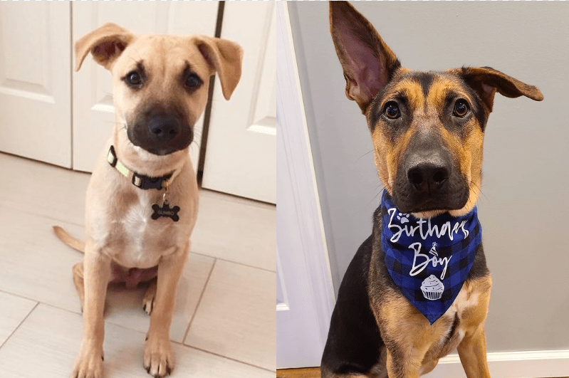 Top 20 Black Mouth Cur German Shepherd Mix Dogs