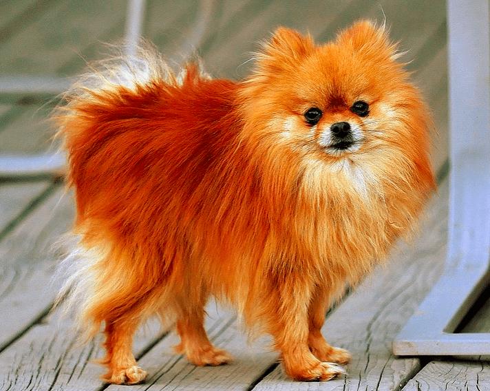 Pomeranian dog breeds