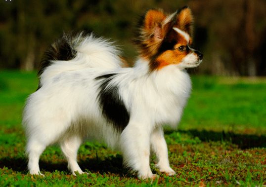 Papillon Dog Breed is also one of the best companion dogs