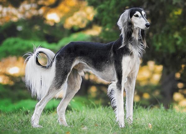 Saluki Dog Breed