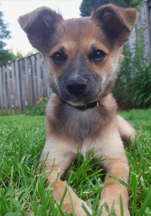 11. Jack Russell + German Shepherd Dog