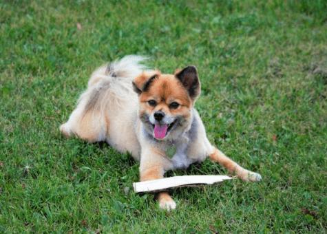 12. Jack Russell + Pomeranian (jack-a-ranian / jack-pom)