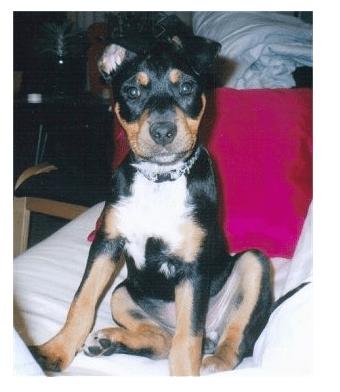 15. Jack Russell + Rottweiler (Jackweiler)