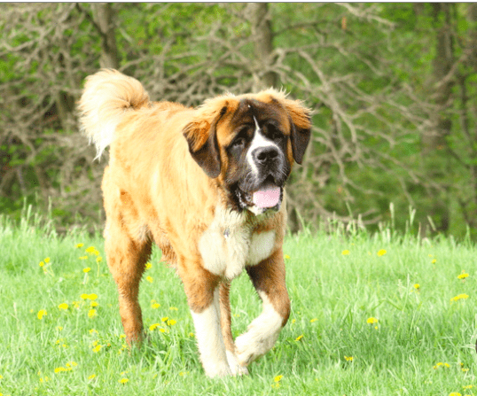 Saint Bernard is one of the most aggressive dog breeds