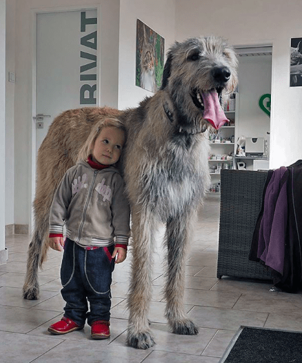 Irish Wolfhound is also one of the best companion dogs