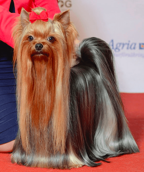 The Yorkshire Terriers
