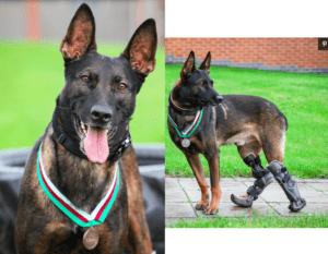 DogGiven Highest Animal Honor – Survived Gunfire in Afghanistan