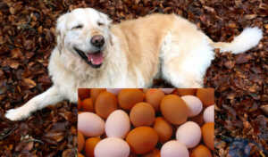 Can dog eat eggs or not? 10 things you need to know today