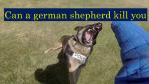 Can a german shepherd kill you (Dog bites – 10 tips to protect yourself)