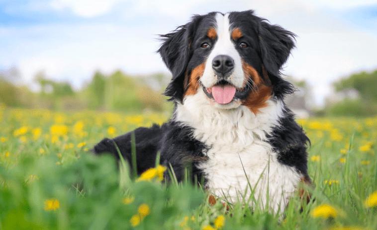 Bernese Mountain Dog - best dog breeds for hiking