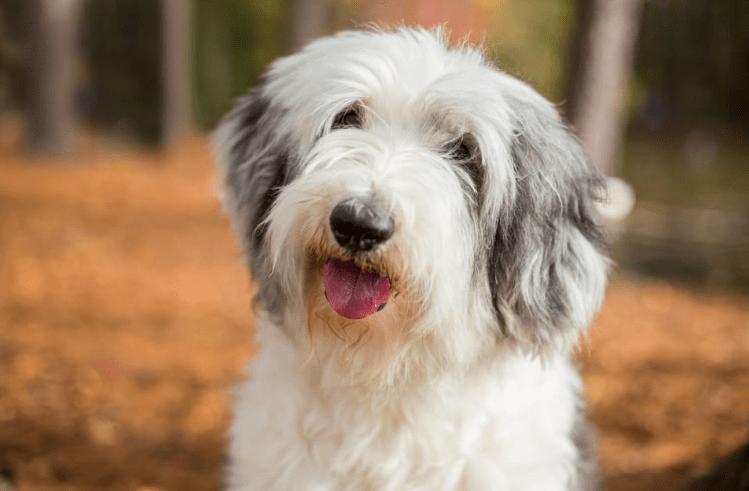 Old English Sheepdog - big fluffy dogs