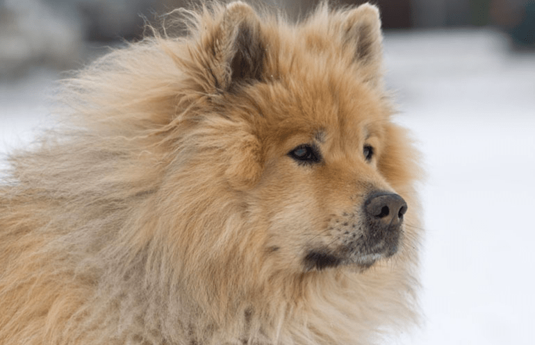 Big Fluffy Dogs breed- Eurasiers dog breed
