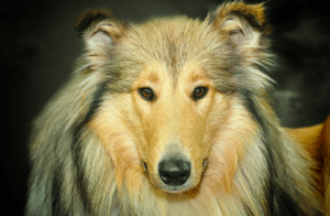 Top 13 Big Fluffy Dogs Breed: What breed is fluffy dog?