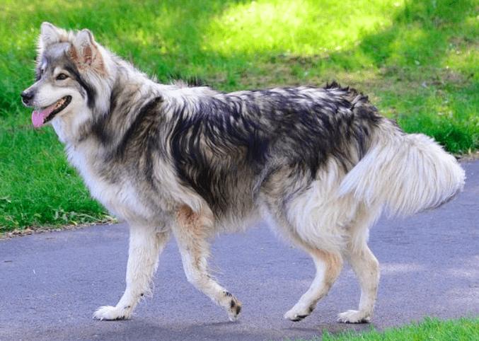 Utonagan - Dog Breeds That Looks Like Wolves