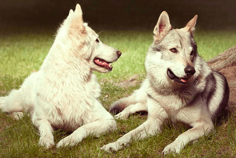 Dog Breeds That Looks Like Wolves dogs