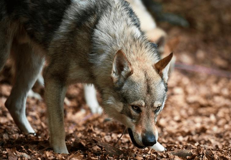Czechoslovakian Wolfdog - Dog Breeds That Looks Like Wolves