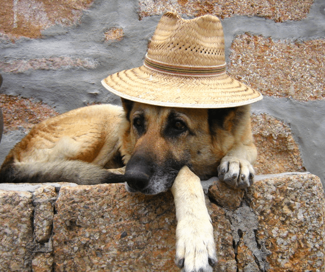 brown dog with a hat
