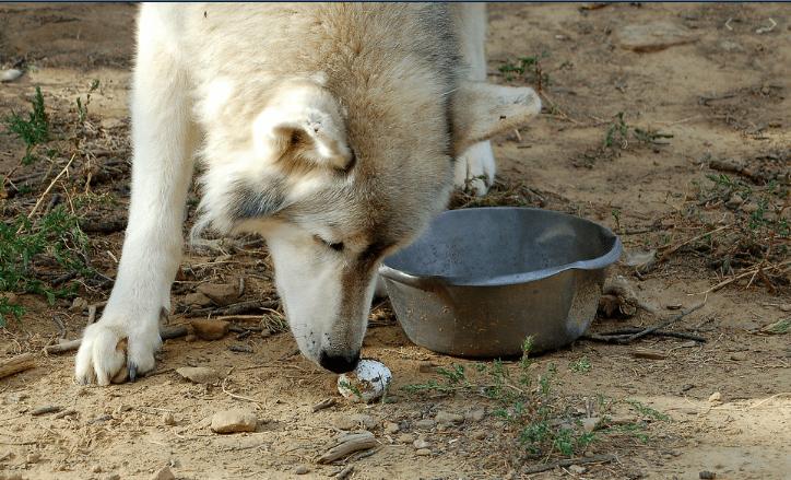 dog eats eggs