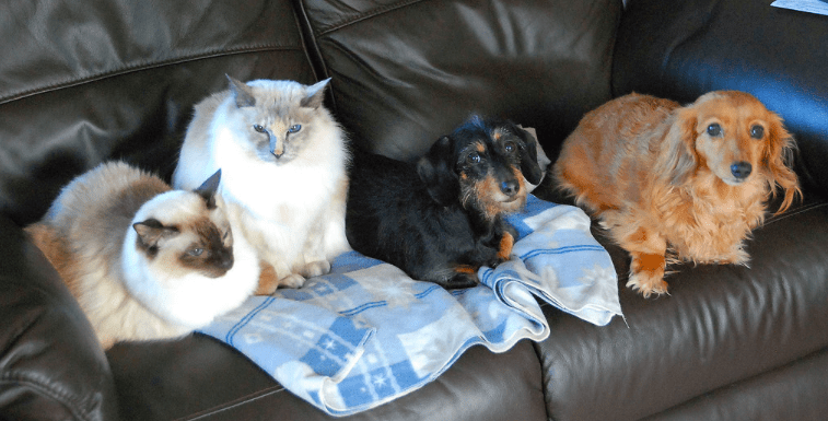 introducing a Are dachshunds good with cats