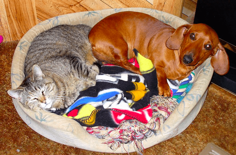do mini dachshund get along with cats