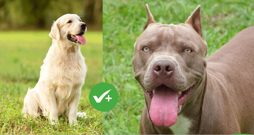 Are labs more aggressive than pit bulls? 10 facts about Labrabull