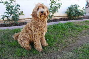 Can Labradoodles Swim? 10 Tips to teach Labradoodle how to swim