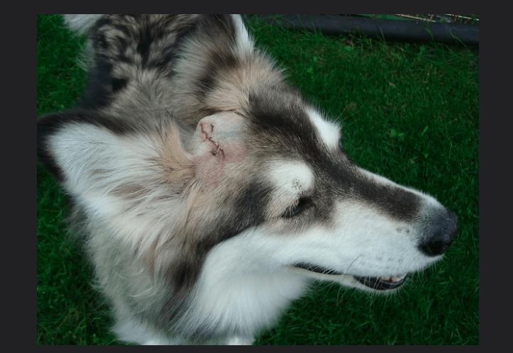 dogs sebaceous cysts