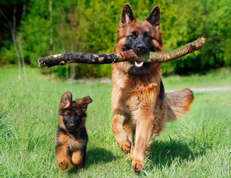german shepherd and puppy