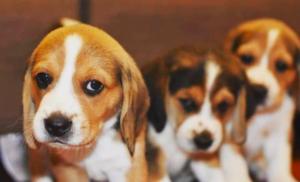 Are Beagle Lab mixes good dogs? 7 Tips about Beagador + Pros & Cons