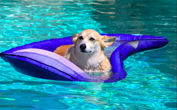 can pembroke welsh corgis swim