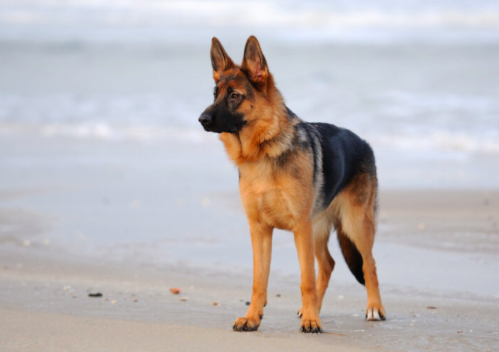 Is german shepherd a good dog for first time owner