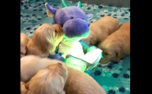 Storytelling Dragon Mesmerized Golden Retriever Puppies (Best Dog Toy)