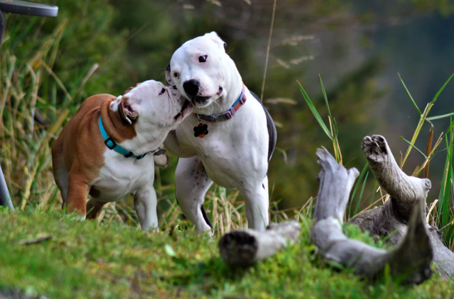 9 facts about pit bulls