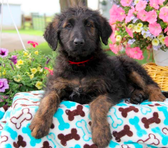 shepadoodle puppies for sale,