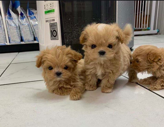 how much should a maltipoo cost? - maltipoo puppies