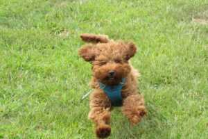How Much Should a Maltipoo Cost? What is the lifespan of a Maltipoo?