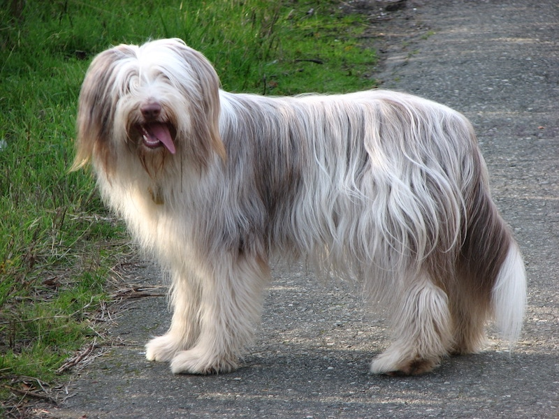 What Is The Cutest Thing You've Ever Seen a Dog do - Bearded Collie