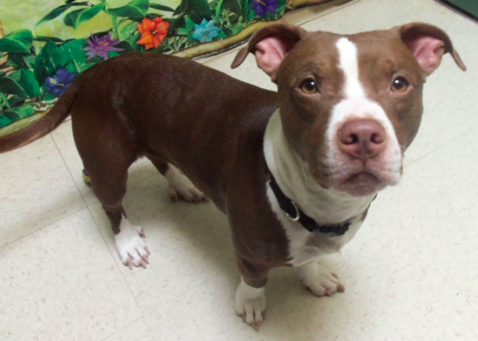 what mix of dog breeds created the pit bull - dachshund pitbull mix
